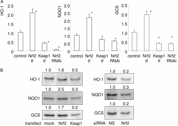 Expression of cytoprotective genes was up-regulated by Nrf2 overexpression and down-regulated by Keap1 overexpression or Nrf2 knockdown. The expressions of HO-1, NQO1, and GCS were examined by real time PCR at day 2 ( A ). Gene expression was calibrated using the Rps18 housekeeping gene, and values indicating the fold-change from control are shown. The data represent the means of three independent experiments performed in triplicate. *, p