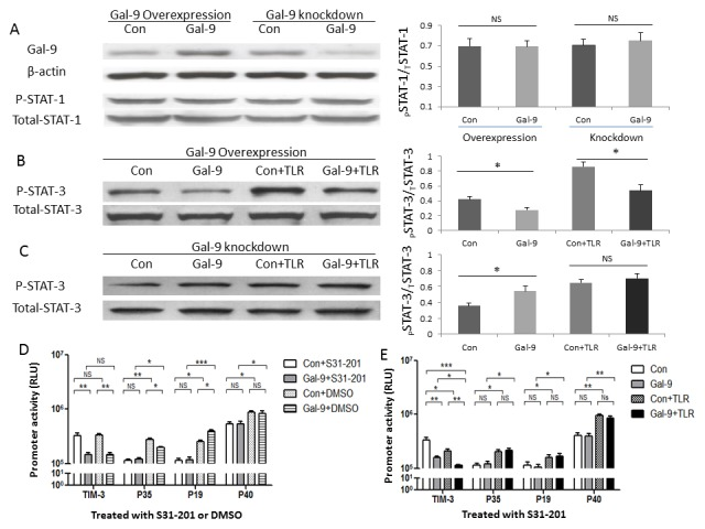Gal-9 differentially regulates IL-12 and IL-23 gene transcriptions in THP-1 cells through STAT-3 signaling. A) Western blot detection of Gal-9 and phosphorylation of STAT-1 proteins in THP-1 cells transfected with Gal-9 plasmid or siRNA. THP-1 cells were transfected with either pBKCMV3-Gal-9 plasmid (Gal-9) or pBKCMV3 empty vector (Con), or Gal-9 silencing siRNA or control siRNA. After 24~48 h transfection, the cells were subjected to Western blot analysis of Gal-9 and pSTAT-1 proteins. β-actin or total STAT-1 served as loading control to normalize target gene levels. Data are shown as representative imaging (left) and corrected optimal densitometry (O.D.) values from three independent experiments for STAT-1 (right). NS = no significance. B) Western blot detection of pSTAT-3 protein in THP-1 cells transfected with Gal-9 plasmid in the presence or absence of TLR stimulations. THP-1 cells were transfected with either Gal-9 or Control plasmid for 24 h, stimulated with or without LPS/R848 for 6 h, followed by Western blot analysis of pSTAT-3 protein. Total STAT-3 served as loading control to normalize target gene levels. Representative imaging and corrected O.D. values from three independent experiments are shown. *P
