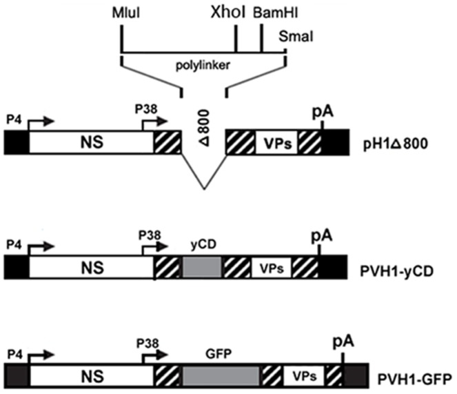 Schematic representation of recombinant parvoviral vector constructions. The upper diagram depicts the empty vector DNA clone PVH1-Δ800 which has 800-bp deletion in the VP coding region and carries a multiple cloning sequence (MluI/SmaI polylinker) at the VP2 translation initiation site. DNA inserts encoding for GFP or catalytic yCD were introduced in polylinker using XhoI and <t>BamH1</t> restriction enzymes. The resulting rPVH1-GFP and rPVH1-yCD plasmids were used for the production of corresponding non-replicative recombinant parvoviruses.