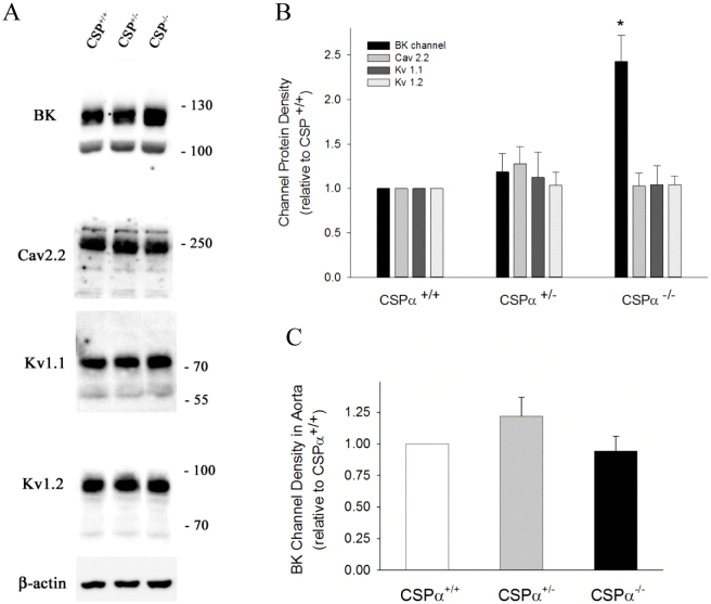 Comparison of protein levels for BK, Ca v 2.2, K v 1.1 and K v 1.2 channels in whole brain tissue from CSPα wild-type, heterozygous and null mice. (A) Representative western blot data of the pore-forming α subunits of BK channel, Ca v 2.2 channel, K v 1.1 and K v 1.2 channels detected in synaptosome-enriched membrane fractions prepared from whole brain (age P23–27). The total protein loaded per lane was 40 μg; detection of β-actin on the same blots was used to verify equal loading amongst the various lanes. The data shown in panel A were selected from full-length western blot images, which are displayed in Supplementary Figure 1 . (B) Histogram showing average data for BK, Ca v 2.2, K v 1.1 and K v 1.2 channel protein in the wild-type, heterozygous and null brain samples quantified by camera-based detection of emitted chemiluminescence. To perform quantification, the ratio of detected channel protein to β-actin for a given sample was calculated for all three genetic backgrounds. Channel density data for the heterozygote and null tissues were then normalized to the wild-type tissue by dividing all calculated ratios by the wild-type ratio for a given channel species. (C) Histogram showing BK channel expression detected in aorta from CSPα heterozygous and null mice relative to wild-type mice. Quantification of BKα subunit detection was performed as described in panel B. Averaged Western blot data were derived from 5–6 animals (panel B) and 3–4 animals (panel C) of each genetic background (2–3 litters). * indicates a statistically significant difference from the heterozygote and wild-type values, as determined by one-way ANOVA and a Tukey's post-hoc test; p