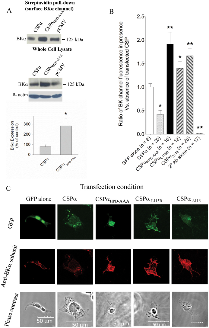 CSPα HPD-AAA increases cell surface expression of BK channel stably-transfected CAD cells. (A) CAD cells stably-expressing BK channels were transiently-transfected with 0.75 μg CSPα, CSPα HPD-AAA and pCMV (negative control). 48 h post-transfection, the cells were labeled for 30 min at 4°C with bath applied Biotin. Following lysis, 1 mg of soluble protein lysate was subjected to overnight streptavidin pull-down at 4°C. Proteins isolated by streptavidin pull down (panel A, left) and 30 μg of soluble cellular lysate (panel A, right) were analyzed by Western Blot with an anti-BKα subunit antibody. β-actin (lower) is shown as a sample loading control. The BKα subunit data shown in the upper image of panel A were selected from a full-length western blot, which is displayed in Supplementary Figure 2B . The histogram in (panel B) quantifies the relative changes in cellular BK channel expression in the presence of WT and various mutant forms of CSPα (i.e. HPD-AAA, CSPα L115R and CSPα Δ116 ), as depicted in panel C. Data are presented as mean ± SE; the number of cells analyzed under each condition is indicated in parentheses. Statistically significant differences were determined using a one-way ANOVA and a Dunnett post-hoc test (vs. GFP alone); * (p