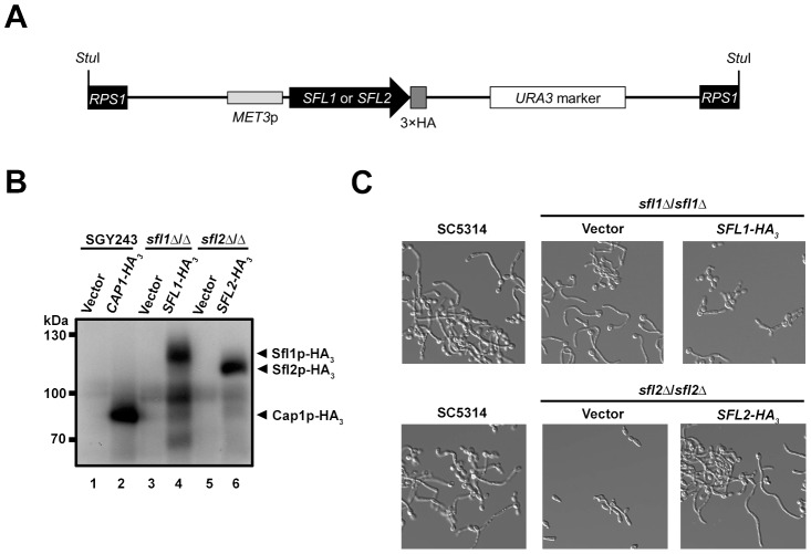 Strategy for tagging Sfl1p and Sfl2p with a triple hemagglutinin (3×HA) epitope tag and characterization of the tagged strains. ( A ) Schematic representation of the SFL1-HA 3 or SFL2-HA 3 tagging cassette allowing expression of the Sfl1p-HA 3 or Sfl2p-HA 3 fusion proteins following a Stu I digestion ( Stu I) and integration at the RPS1 locus ( RPS1 , black rectangles) [42] . A triple HA tag (dark grey box) was inserted in frame with the SFL1 or SFL2 coding sequences ( SFL1 or SFL2 ; black arrowed rectangle) in plasmid pCaEXP [42] . The tagged alleles are placed under the control of the MET3 promoter ( MET3 p; ligh grey rectangle), which is induced in the absence of methionine and cysteine, and are followed by the C. albicans URA3 marker (open rectangle). ( B ) Western blot analysis of homozygous sfl1 or sfl2 mutants ( sfl1 Δ/ sfl1 Δ or sfl2 Δ/ sfl2 Δ) expressing HA 3 -tagged versions of the SFL1 or SFL2 genes, respectively ( SFL1-HA 3 or SFL2- HA 3 ) together with the corresponding empty vector controls (Vector). The SGY243 strain expressing the CAP1-HA 3 ( CAP1-HA 3 ) or carrying the empty vector (Vector) were used as a positive control [43] . Strains were grown overnight in SD medium (P MET3 -inducing conditions) and total protein extracts were prepared then subjected to SDS-PAGE. Western blotting was performed using an anti-HA antibody. Positions of the molecular mass standards are indicated on the left (kDa). Immunopositive signals from the Sfl1p-HA 3 and Sfl2p-HA 3 fusions are indicated with black arrows ( C ) Phenotypic analysis of the strains expressing the HA 3 -tagged SFL1 or SFL2 alleles. Strain SC5314 (control) together with the homozygous sfl1 or sfl2 mutants expressing the SFL1-HA 3 or SFL2-HA 3 alleles ( SFL1-HA 3 , SFL2-HA 3 ), respectively, or carrying the empty vector (Vector) were grown overnight in YPD at 30°C then transferred to Lee's medium lacking methionine and cysteine and allowed to grow during 4 h at 37°C before being examined microscopica