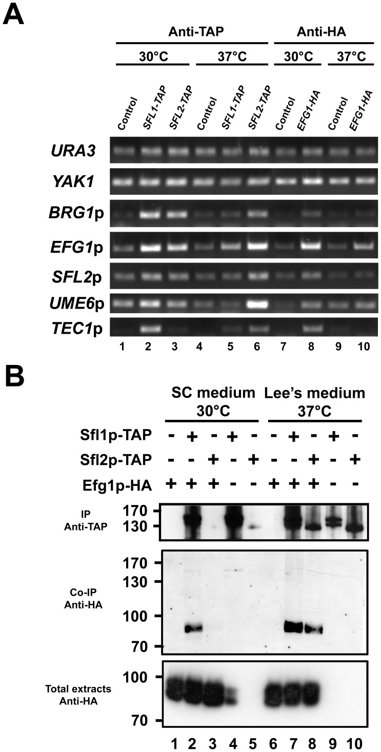 Efg1p binds to the promoter of many Sfl1p and Sfl2p targets and co-immunoprecipitates with Sfl1p and Sfl2p, in vivo . ( A ) ChIP-PCR assay of selected Sfl1p and Sfl2p target promoters. Strains SFL1-TAP (CEC1922), SFL2-TAP (CEC1918) and EFG1-HA (HLCEEFG1) were grown in SC medium at 30°C (30°C) or in Lee's medium at 37°C (37°C) together with the SC5314 control strain (Control) during 4 h before being subjected to chromatin immunoprecipitation (Anti-TAP, Anti-HA) followed by PCR using primers specific to the indicated promoter regions. The URA3 and YAK1 genes were used as negative controls for ChIP enrichment. ( B ) Co-Immunoprecipitation of Efg1p with Sfl1p and Sfl2p. Strains coexpressing SFL1-TAP and EFG1-HA (Lanes 2 and 3) or SFL2-TAP and EFG1-HA (Lanes 7 and 8) or controls (Lanes 1 and 6, EFG1-HA only; lanes 4 and 9, SFL1-TAP only; lanes 5 and 10, SFL2-TAP only) were cultivated in SC medium at 30°C or in Lee's medium at 37°C before crosslinking with formaldehyde. Total extracts were incubated with Dynal PanMouse IgG beads directed against TAP epitope tag prior to washing and Western blotting using anti-TAP (IP Anti-TAP, 10% of the beads/total extracts mixture) and anti-HA (Co-IP Anti-HA) antibodies. A portion of the total cell extracts (∼2%) was included to verify the presence of the Efg1p-HA fusion (Total extracts Anti-HA).