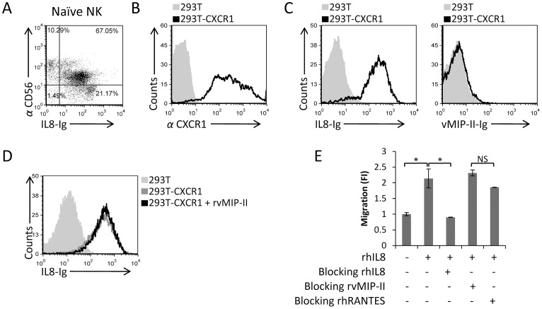 vMIP-II does not block the IL-8-mediated migration. (A) Freshly isolated naïve NK cells were double stained with IL-8-Ig and with anti-CD56. The percentages of the various populations are indicated in the figure. (B) CXCR1 expression on the transfectant 293T-CXCR1 cells (black open histogram) or on the 293T parental cells (filled grey histogram). (C) Binding of IL-8-Ig (left histogram) or vMIP-II-Ig (right histogram) to 293T-CXCR1 transfectant (black open histogram) or to the 293T parental cells (filled grey histogram). (D) 293T-CXCR1 cells were incubated with (black empty histogram) and without (dark gray empty histogram) rvMIP-II for 1 hour in 4°C and then stained with IL-8-Ig. The light gray filled histogram is the staining of IL-8-Ig on the 293T parental cells. (E) Freshly isolated naïve NK cells were incubated at 4°C for 1 hour with and without the proteins indicated in the x axis. RhIL-8 was placed in the bottom chamber and the numbers of migrated cells was determined by FACS following 3 hours incubation at 37°C. The migration of the NK cells without the appropriate chemokine was set as 1 and the results are presented as fold increase (FI). *P