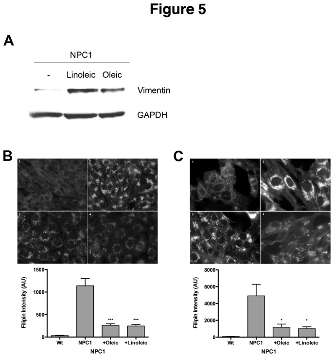 Effects of fatty acids on vimentin solubilization and the NPC1 phenotype. (A) Human NPC1 3123 cells were treated with 50µg/ml linoleic or oleic acid for 24 hrs, after which the levels of soluble vimentin were analyzed by Western blotting. Cholesterol storage in NPC1 CHO (B) or human 3123 (C) cells was analyzed by filipin staining. Fluorescence intensity was quantitated in at least 150 cells for each sample. The bar graph represents average values ±SEM from 3 independent experiments. * and *** denote statistically significant differences between treated and untreated cells with P
