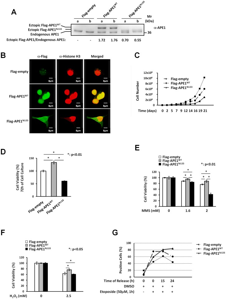 Expression of ectopic APE1 WT protein confers cells protection to genotoxic damage but not to FAs-induced cytotoxicity. Panel A: Western Blot analysis of total cell extracts from HepG2 stable cell clones. Stably transfected clones have been obtained as described in Materials and Methods section. Twelve micrograms of protein extracts were separated by 12% SDS-PAGE and then transferred onto a NC membrane. The membrane was immunoblotted with anti-APE1 antibody. The values reported above refer to the ratios of the band intensities between ectopically-expressed and endogenous APE1, as measured by densitometry. The ectopic Flag-tagged recombinant protein both in the APE1 WT and the APE1 NΔ33 cell clones is expressed to a similar extent at different days of cell culture. a: clones after the sixth in vitro passage; b: clones after the tenth in vitro passage. Panel B: APE1 localization within HepG2 cell clones. HepG2 cell clones were fixed and immunostained for Histone H3 (red) and for Flag-tagged APE1 with an α-Flag antibody (green). Merged images (yellow) show the localization of APE1 WT within cell nuclei and colocalization with Histone H3. The APE1 NΔ33 deletion mutant colocalizes with Histone H3 within cell nuclei but show also cytoplasmic positivity. Panel C: Growth curve of HepG2 cell clones. HepG2 empty clone, APE1 WT clone and APE1 NΔ33 clone cells were seeded into each well of a 24-well plate and cell growth was monitored every two or three days as indicated, by trypan blue exclusion. APE1 NΔ33 cells (triangle) grew more slowly than the APE1 WT (square) and the empty clones (dot). Panel D: Cell growth by MTT colorimetric assay. Thirty thousand cells of the control (empty clone), APE1 WT and APE1 NΔ33 clones were seeded in quadruplicate wells in a 96-well microculture plate. Cell viability was measured after 72 h of culture. MTT assay also revealed that APE1 NΔ33 cell clone has a lower level of proliferation than empty and APE1 WT clones. Data, expressed as the perc