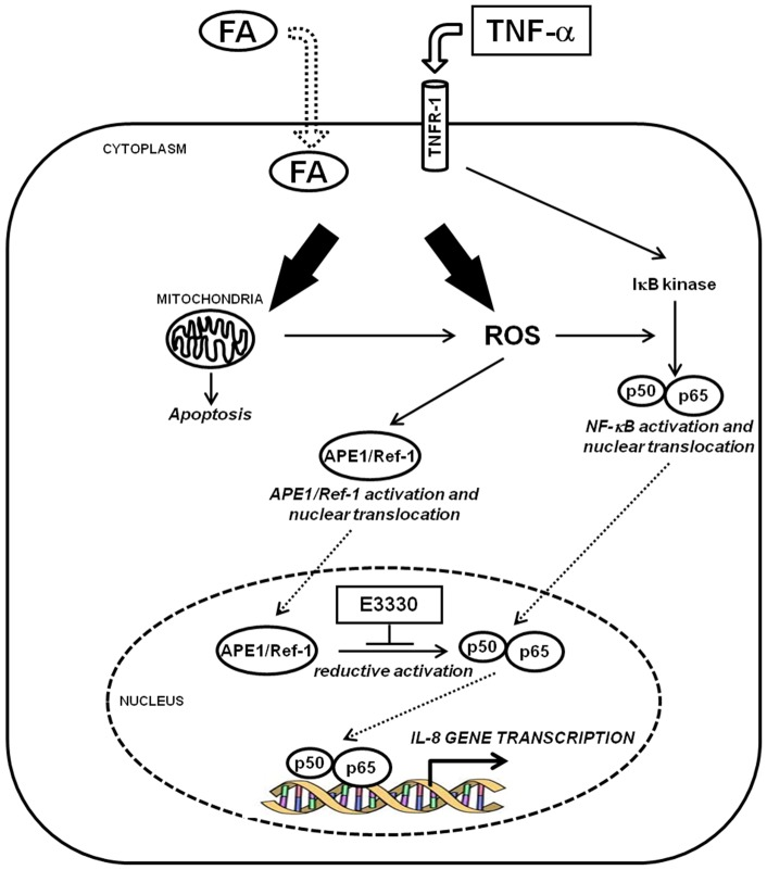 Model of the effect of E3330 redox inhibitor on the Fatty Acid-TNFα-APE1-NFκB-IL8 axis. APE1 redox inhibitor E3330 prevents inflammatory cytokines production (IL-8 and IL-6) triggered by FAs accumulation and TNF-α stimulation in hepatic cancer cell lines. In this pathway, mitochondrial impairment and resulting oxidative stress condition may cause the functional activation of NF-κB transcription factor through APE1 regulatory redox function leading to IL-8 and IL-6 gene expression.