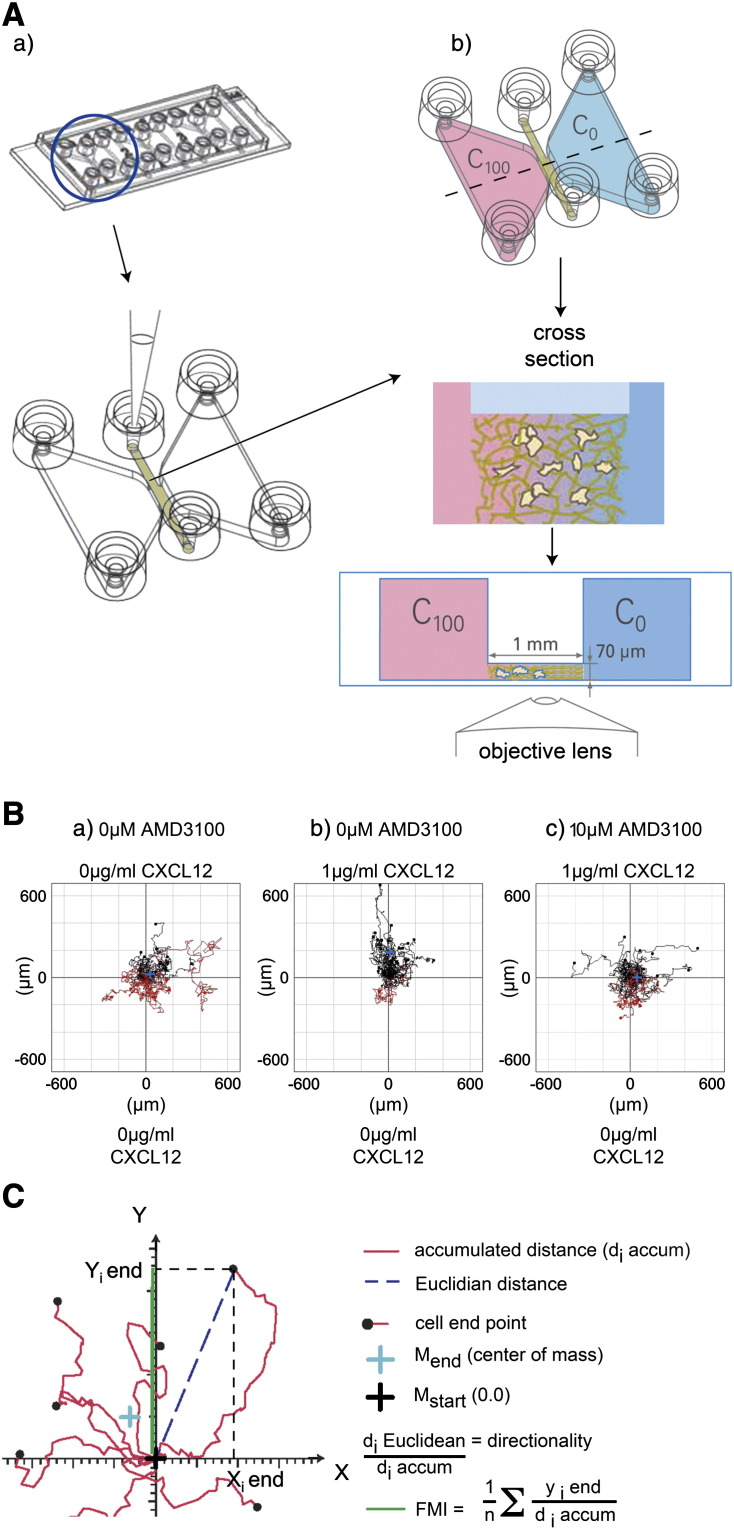 The 3D μ-slide chemotaxis assay for human cord blood CD133 + hematopoietic stem/progenitor cells. (A) After 24 hour culture in StemSpan medium plus SCF, Flt-3 ligand, IL-6 and TPO, (a) human UCB CD133 + cells in a collagen I gel solution (1 mg/ml) were seeded into the central 3D μ-slide chamber prior to (b) the addition of StemSpan serum free medium alone (C0) or with a 1 μg/ml CXCL12 (C100) gradient plus or minus AMD3100 and cells captured by timelapse microscopy at 3–5 minute intervals. (B) Trajectory plots illustrate migrated cells at 22 h minus (a) or plus a CXCL12 gradient (b) or with CXCL12 in the presence of 10 μM AMD3100 (c). The red and black lines indicate whether the cells finished their migration path below or above their starting point on the x axis. Rayleigh test p values of p = 0.17, p = 5.7 × 10 − 8 and p = 0.054 for (a), (b) and (c) respectively indicate that the distribution of the cell end points was only significantly inhomogeneous (i.e. distributed towards the chemoattractant) in the presence of CXCL12 alone (b). (C) Diagrammatic representation of a trajectory plot demonstrating methods for quantitating chemotactic and chemokinetic parameters. The diagrams in Figs. 1A and C were captured from the movie describing the assay system (MV_25_chemotaxis.flv) on the Ibidi website ( http://ibidi.com/support/movies/mv25/ ).