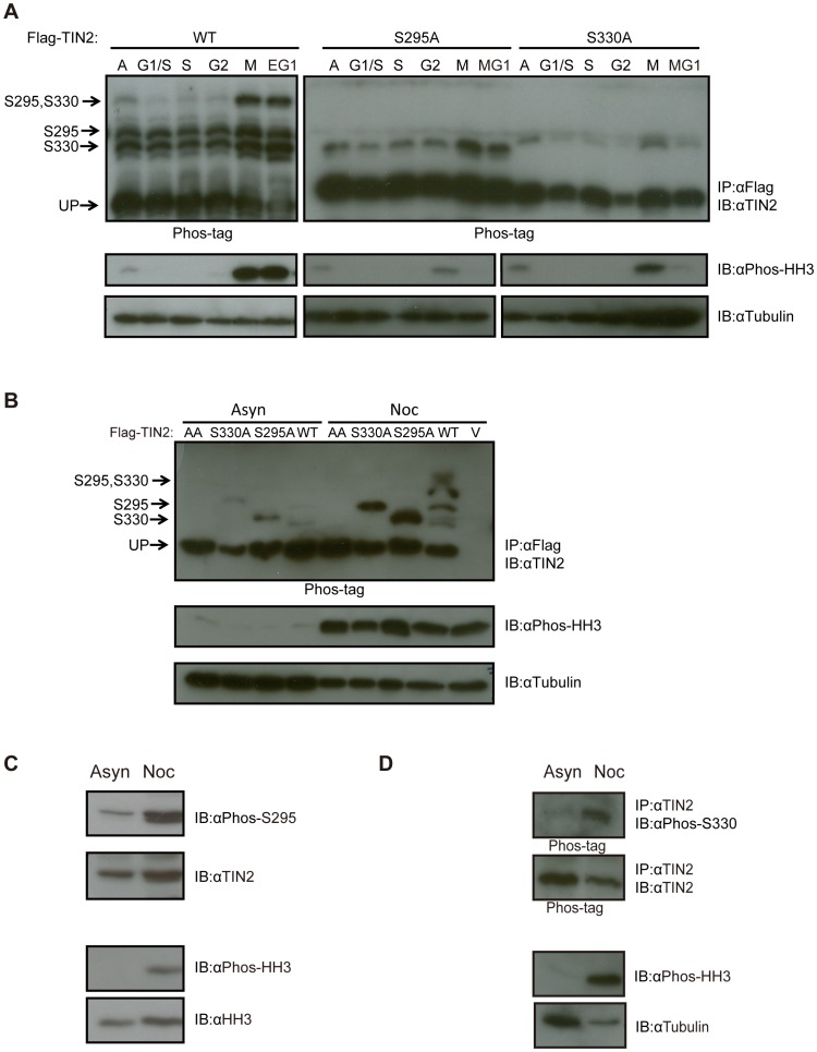 TIN2 is phosphorylated on S295 and S330 during mitosis. ( A ) Detection of S295 and S330 phosphorylation of TIN2 during mitosis by the Phos-tag reagent after release from a double thymidine block. HeLa cells stably infected with a retrovirus encoding Flag-TIN2 in the WT, S330A, or S295A configuration were collected from asynchronous populations (A), populations arrested with a double thymidine block corresponding to the G1/S phase of the cell cycle, or populations at the points corresponding to S, G2, M and early or middle G1 (EG1 or MG1) after release from the double thymidine block. Derived lysates were then either subjected to ( top ) immunoprecipitation (IP) with an anti-Flag antibody and resolved by SDS-PAGE in the presence of the Phos-tag reagent and immunoblotted (IB) with an anti-TIN2 antibody or ( bottom ) resolved by normal SDS-PAGE and immunoblotted with either an anti-Phos-HH3 antibody to monitor cell cycle progression or an anti-Tubulin antibody as a loading control. The supershifted bands corresponding to S295, S330, or S295 and S330 phosphorylation, as well as the unphosphorylated TIN2 (UP) are denoted on the left of the upper panels. Left and right panels are different exposures. Representative of two experiments. ( B ) Detection of S295 and S330 phosphorylation of TIN2 by the Phos-tag reagent in cells arrested with nocodazole. HeLa cells stably infected with a retrovirus encoding no transgene (vector, V) or Flag-TIN2 in the WT, S330A, S295A, or AA configuration were collected from asynchronous populations (Asyn) or populations arrested in G2/M by treatment with nocodazole (Noc). Derived lysates were then subjected to either ( top ) immunoprecipitation (IP) with αFlag and resolved by SDS-PAGE in the presence of the Phos-tag reagent and immunoblotted (IB) with an anti-TIN2 antibody or ( bottom ) resolved by normal SDS-PAGE and immunoblotted with either an anti-Phos-HH3 antibody to monitor cell cycle progression or an anti-Tubulin antibody as a loading control. The supershifted bands corresponding to S295, S330, or S295 and S330 phosphorylation, as well as the unphosphorylated TIN2 (UP), are denoted on the left of the upper panel. Representative of three experiments. ( C ) Detection of S295 phosphorylation of endogenous TIN2 with a phosphorylation-specific antibody in cells arrested with nocodazole. Lysates from HeLa cells were collected from asynchronous populations (Asyn) or populations arrested in G2/M by treatment with nocodazole (Noc), resolved by SDS-PAGE and immunoblotted (IB) with an anti-Phos-S295, anti-TIN2, anti-Phos-HH3, or anti-HH3 (loading control) antibody. Representative of two experiments. ( D ) Detection of S330 phosphorylation of endogenous TIN2 with a phosphorylation-specific antibody in cells arrested with nocodazole. HeLa cells were collected from asynchronous populations (Asyn) or populations arrested in G2/M by treatment with nocodazole (Noc). Derived lysates were then either subjected to ( top ) immunoprecipitation (IP) with an anti-TIN2 antibody, resolved by SDS-PAGE in the presence of the Phos-tag reagent, and immunoblotted (IB) with either an anti-Phos-S330 or anti-TIN2 antibody, or ( bottom ) resolved by normal SDS-PAGE and immunoblotted with an anti-Phos-HH3 antibody, to monitor cell cycle progression, or an anti-Tubulin antibody as a loading control. Representative of one experiment.