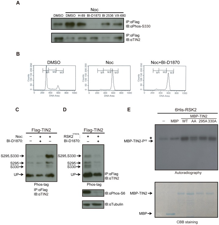 TIN2 is phosphorylated by the mitotic kinase RSK2. ( A ) Detection of S330 phosphorylation of TIN2 with a phosphorylation-specific antibody in cells arrested with nocodazole and treated with kinase inhibitors. HeLa cells stably expressing wild-type Flag-TIN2 were treated with DMSO, H-89, BI-D1870, BI 2536 or VX-680 in the presence of either nocodazole (Noc) or vehicle (DMSO). Derived lysates were immunoprecipitated (IP) with an anti-Flag antibody, resolved by SDS-PAGE, and immunoblotted (IB) with an anti-Phos-S330 antibody or, as a loading control, an anti-TIN2 antibody. Representative of two experiments. ( B ) DNA profiles of HeLa cells treated with BI-D1870. HeLa cells treated with DMSO, nocodazole (Noc), or nocodazole+ BI-D1870 were harvested, stained with propidium iodide, and subjected to fluorescence-activated cell sorting (FACS) analysis. Representative of two experiments. ( C ) Detection of S295 and S330 phosphorylation of TIN2 by the Phos-tag reagent in asynchronous or nocodazole arrested cells with or without the RSK2 inhibitor BI-D1870. 293T cells were either untreated or treated with nocodazole (Noc), BI-D1870, or both compounds. Derived lysates were then subjected to immunoprecipitation (IP) with an anti-Flag antibody and resolved by SDS-PAGE in the presence of the Phos-tag reagent and immunoblotted (IB) with an anti-TIN2 antibody. The supershifted bands corresponding to S295, S330, or S295 and S330 phosphorylation, as well as the unphosphorylated TIN2 (UP), are denoted on the left. Representative of two experiments. ( D ) Detection of S295 and S330 phosphorylation of TIN2 by the Phos-tag reagent in asynchronous cells with ectopic RSK2 and/or the RSK2 inhibitor BI-D1870. 293T cells transiently transfected with Flag-TIN2 and the Y707A constitutively active mutant form of RSK2 (Flag-RSK2 Y707A ) were either left untreated or treated with RSK kinase inhibitor BI-D1870. Derived lysates were split into two portions. The first portions were subjected to immun