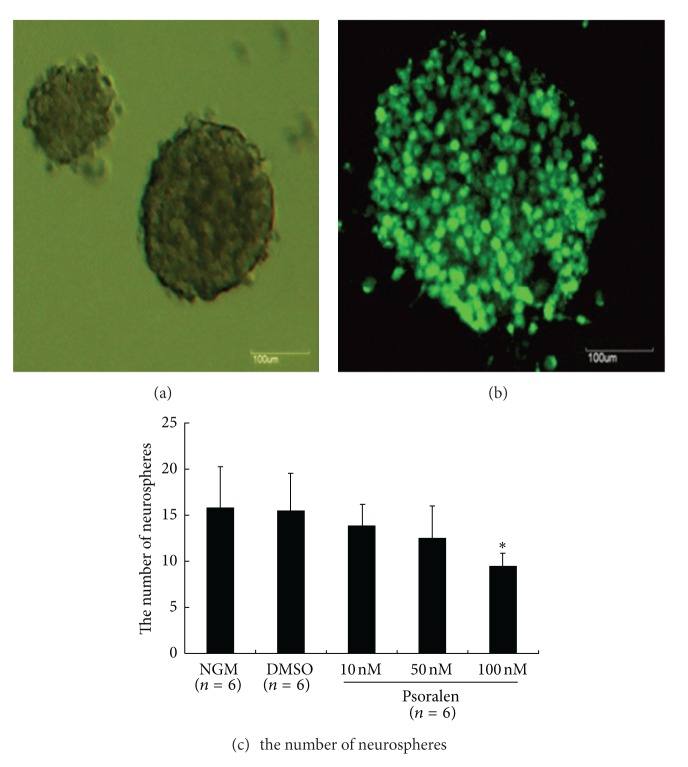 Effects of Psoralen on neurosphere formation of neural stem cells in vitro. Single NSCs at a density of 500 cells/well were cultured in normal growth medium (NGM) containing DMEM/F12 supplemented with hrFGF for 7 days to form various size of neurospheres (a). The neurospheres expressed NSC marker nestin (b). Single NSCs were exposed to NGM, DMSO (0.1%), and 10, 50, 100 nM Psoralen dissolved in DMSO (0.1%), respectively. Psoralen caused a significant decrease in frequency of neurosphere formation (c). Scale bars: 100 μ m. Results were expressed as mean ± S.D. of six independent experiments. * P