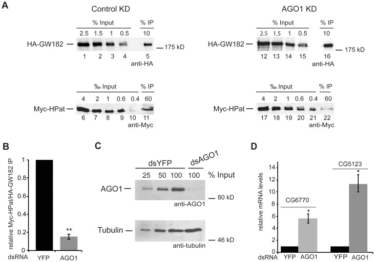 Co-purification of HPat with GW182 in AGO1 knockdown cells. A: Cells stably expressing HA-GW182 and Myc-HPat were treated for four days with dsRNA against YFP (control KD) or AGO1 (AGO1 KD). Protein complexes were immunoprecipiated from cell lysates using anti-HA antibody. Increasing amounts of the input sample and immunoprecipitates (IP) were analyzed by western blot analysis using anti-HA (Inputs lanes 1–4, 12–15, and IPs lanes 5 and 16) or anti-c-myc antibody (Inputs lanes 6–10, 17–21 and IPs lanes 11 and 22). The percentage of total cell lysate loaded in input lanes or the percentage of the total IP are indicated. B: Quantitative analysis of the western blot in (A). The amount of Myc-HPat/HA-GW182 in the IP was normalized and the value for the control IP set to 1. C: Knockdown efficiency of AGO1. Cell lysate of AGO1 knockdown cells and various amounts of control cell lysate were analyzed by western blot analysis. Tubulin was used as a loading control. D: Upregulation of endogenous miRNA targets CG5123 and CG6770 in AGO1 knockdown cells. Total RNA from input samples of (A) were analyzed by RT-qPCR and normalized to rp49 levels. The values of dsYFP treated cells were set to 1. In all figures bars represent mean values and error bars standard deviations of at least three biological replicates. Statistical analysis was performed using the Student's t test and significance values are as follows: *, p