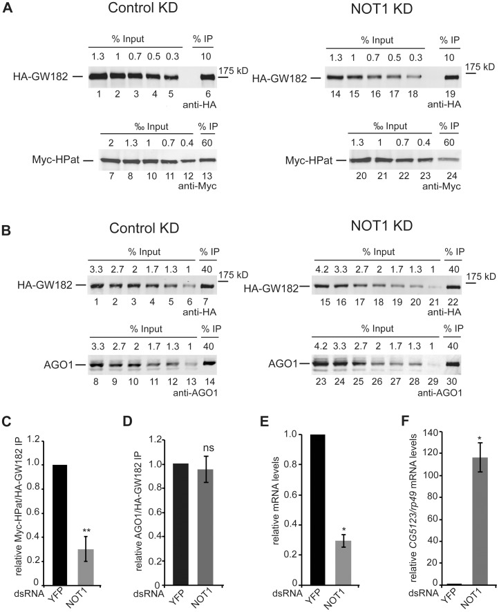 Co-purification of HPat (A) or AGO1 (B) with GW182 in NOT1 knockdown cells. A, B: Protein complexes were immunoprecipiated using monoclonal anti-HA antibody from cell lysates. Cells stable expressing HA-GW182 and Myc-HPat were treated with dsRNA against YFP (control KD) or NOT1 (NOT1 KD). Increasing amounts of the input sample and immunoprecipitates (IP) were analyzed by western blot analysis using anti-HA (Input in A: lanes 1–5 and 14–18, in B: lanes 1–6 and 15–21. IPs in A lanes 6 and 19, in B lanes 7 and 22), anti-c-myc (Input in A: lanes 7–12 and 20–23. IPs in A lanes 13 and 24) or anti-AGO1 antibody (Input in B: lanes 8–13 and 23–29. IPs in B lanes 14 and 30). The percentage of total cell lysate loaded in input lanes or the percentage of the total IP are indicated. C, D: The amount of Myc-HPat/HA-GW182 ( C ) or AGO1/HA-GW182 ( D ) in immunoprecipitates (IP) from lysates of control and NOT1 knockdown cells. The IP was normalized (Supporting Figure S4 ) and the value of the control IP set to 1. E: Analysis of NOT1 mRNA levels in knockdown cells compared to control cells treated with dsYFP <t>RNA.</t> The levels of NOT1 mRNA in total RNA of input samples were analyzed by <t>RT-qPCR</t> and normalized to rp49 mRNA levels. The values of dsYFP treated cells were set to 1. F: Upregulation of endogenous miRNA targets in knockdown cells. Total RNA of input samples were analyzed by RT-qPCR for changes of CG5123 mRNA levels in NOT1 knockdown cells. mRNA levels were normalized to rp49 mRNA levels. The values of dsYFP treated cells were set to 1. Statistical analysis was performed using the Student's t test and significance values are as follows: ns, not significant; *, p