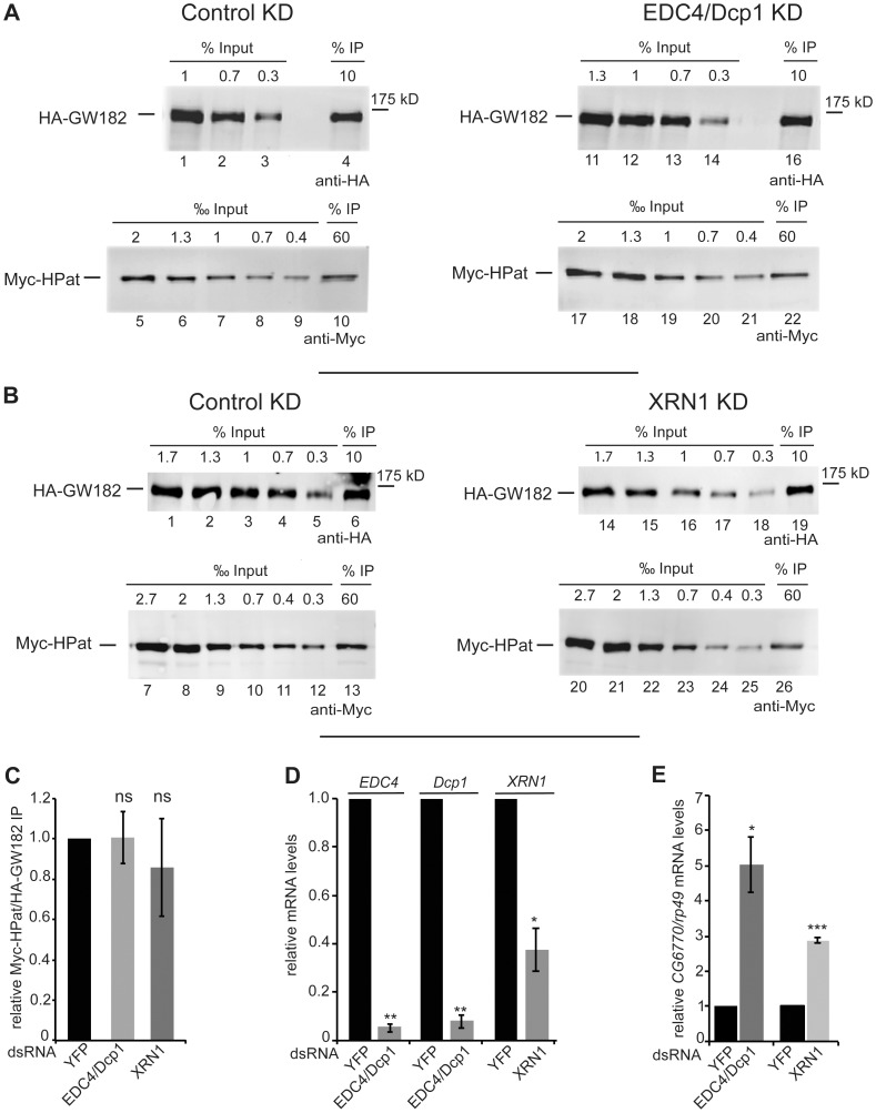 Co-purification of HPat with GW182 in EDC4 and Dcp1 (A), or XRN1 (B) knockdown cells. A, B: Protein complexes were immunoprecipiated using monoclonal anti-HA antibody from cell lysates. Cells stable expressing HA-GW182 and Myc-HPat were treated with dsRNA against YFP (control KD), EDC4 and Dcp1 (EDC4/Dcp1 KD, A ) or XRN1 (XRN1 KD, B ). Increasing amounts of the input sample and immunoprecipitates (IP) were analyzed by western blot analysis using anti-HA (Input in A: lanes 1–3 and 11–14, in B: lanes 1–5 and 14–18. IPs in A: lanes 4 and 16, in B: lanes 6 and 19) or anti-c-myc antibody (Input in A: lanes 5–9 and 17–21, in B: lanes 7–12 and 20–25. IPs in A: lanes 10 and 22, in B: lanes 13 and 26). The percentage of total cell lysate loaded in input lanes or the percentage of the total IP are indicated. C: The amount of Myc-HPat/HA-GW182 in immunoprecipitates (IP) from lysates of control, EDC4 and Dcp1, or XRN1 knockdown cells. The IP was normalized (Supporting Figure S5 ) and the value of the control IP set to 1. D: Analysis of EDC4, Dcp1, and XRN1 mRNA levels. The levels of EDC4, Dcp1, and XRN1 mRNA in total RNA of input samples were analyzed by RT-qPCR and normalized to rp49 mRNA levels. The values of dsYFP treated cells were set to 1. E: Upregulation of endogenous miRNA targets in knockdown cells. CG6770 mRNA levels in total RNA of EDC4/Dcp1, XRN1, and YFP knockdown cells were analyzed by RT-qPCR. mRNA levels were normalized to rp49 mRNA levels. The values of dsYFP treated cells were set to 1. Statistical analysis was performed using the Student's t test and significance values are as follows: ns, not significant; *, p