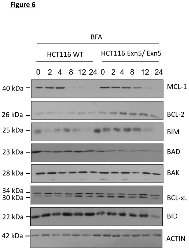Altered expression of the BCL-2 family of proteins may attenuate cell death in Exn5/Exn5 cells. A) Western blots for BCL-2 family proteins in HCT116 WT and Exn5/Exn5 cells treated with 500 ng/ml of Bfa for 2, 4, 8, 12 and 24 h. Proteins analyzed were MCL-1, BCL-2, BIM, BAD, BAK, BCL-xL, BID and NOXA. ACTIN was used as a loading control. The data is a representative of at least three independent experiments.