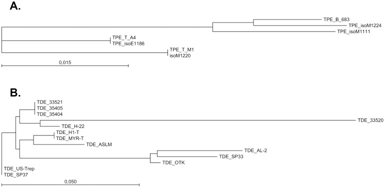 Phylogeny of T. pedis isolates and T. <t>denticola</t> strains. Phylogeny based on neighbor-joining of the intergenic spacer region between the 16S rRNA and tRNA Ile . The sequences were extracted from the WGS assemblies generated in this study. (A) Phylogeny of the T. pedis isolates. (B) Phylogeny of the T. denticola strains. The bars corresponds to 0.015 and 0.050 nucleotide substitutions per position.