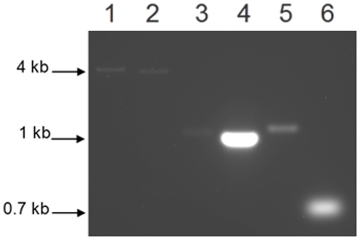 RT-PCR analysis of P. gingivalis W83. DNase treated total RNA extracted from P. gingivalis W83 and subjected to RT-PCR. Lane 1, amplification of 4.3 kb uvrA-PG1037 fragment; Lane 2, amplification of 3.7 kb PG1037-pcrA fragment; Lanes 3, 4 and 5, intragenic specific primers for uvrA , PG1037 and pcrA genes amplified a 1.2 kb, 1.0 kb and 1.3 kb fragments respectively; Lane 6, amplification of 0.7 kb 16S fragment.