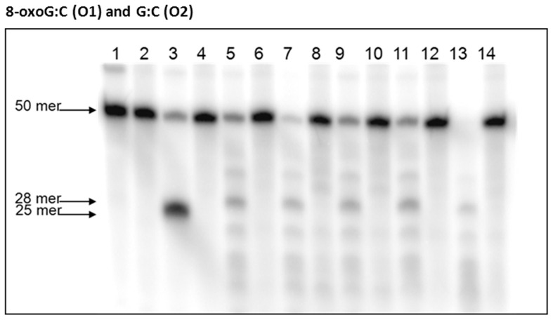 8-oxoG removal activities of cell extracts from P. gingivalis strains W83 and isogenic mutants. [γ- 32 P]-ATP-5′-end-labeled oligonucleotides (O1 and O2) were incubated with P. gingivalis extracts for 10 min, electrophoresed and visualized. Lane 1 contained O1; Lane 2 contained O2; Lane 3 contained O1 and Fpg enzyme; Lane 4 contained O2 and Fpg enzyme; Lane 5 contained O1 and P. gingivalis W83 extract; Lane 6 contained O2 and P. gingivalis W83 extract; Lane 7 contained O1 and P. gingivalis FLL145 extract; Lane 8 contained O2 and P. gingivalis FLL145 extract; Lane 9 contained O1 and P. gingivalis FLL146 extract; Lane 10 contained O2 and P. gingivalis FLL146 extract; Lane 11 contained O1 and P. gingivalis FLL147 extract; Lane 12 contained O2 and P. gingivalis FLL147 extract; Lane 13 contained O1 and P. gingivalis FLL148 extract and Lane 14 contained O2 and P. gingivalis FLL148 extract.