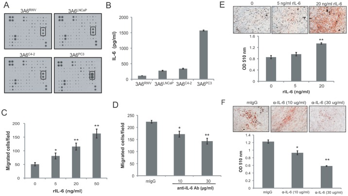 Effects of IL-6 on the reactive stromal phenotypes of MSCs. (A) Cytokine expression profile of the conditioned medium obtained from the normal 3A6 RWV and the prostate cancer-associated 3A6 LNCaP , 3A6 C4-2 , and 3A6 PC3 was analyzed by using a Human Cytokine Antibody Array C Series 2000. The autoradiograph of one set of Array VI containing IL-6 spots (rectangular boxes) is presented. (B) Quantitative detection of the expression level of IL-6 by ELISA assay. Data represent the means ± SD of triplicate determination. (C) Chemotactic response of PC3 cells induced by human recombinant IL-6 (rIL-6). Data are represented as the means ± SD of the number of cells per high-power field (100x) in triplicate experiments. * P