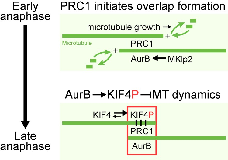 A model for Aurora B regulation of central spindle size. In early anaphase, PRC1 promotes the formation of anti-parallel microtubule overlaps at the central spindle. At the same time Aurora B is transported to these overlap structures by Mklp2, establishing a local high concentration of Aurora B. Phosphorylated KIF4A (KIF4P) suppresses plus-end microtubule dynamics, and thereby limits growth of the central spindle. Motor activity of <t>kinesin</t> family proteins depends on its ability to alternate between ATP-bound and ADP-bound forms using its <t>ATPase</t> activity. The two forms allow kinesins to cycle between high affinity and low affinity toward microtubules, resulting in its movement along microtubules over time ( Friel and Howard, 2012 ). The processivity of a motor (number of steps a motor takes upon encounter with a microtubule) is directly dependent on its ATPase activity (V max ) as well as its affinity toward microtubules (K app MT). Phosphorylation of KIF4A by Aurora B increases its ATPase activity by ∼5,000 fold compared with its ATPase activity in the absence of microtubules. However, this increase in ATPase activity is not accompanied by increased affinity toward the microtubules. Alternatively, Aurora B mediated phosphorylation may enhance the processivity of KIF4A. Concentration of Aurora B activity at the central spindle during anaphase would allow increased processivity of KIF4A specifically at the central spindle, allowing the motor to preferentially reach microtubule plus-ends and suppress microtubule dynamics in this region.