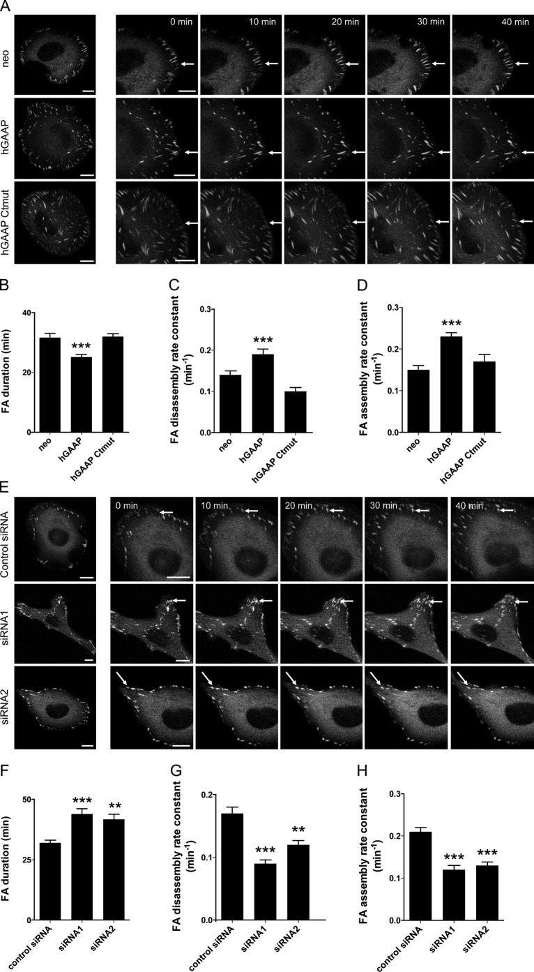 hGAAP expression alters focal adhesion dynamics. (A and E) U2-OS cells overexpressing hGAAP (A) or transfected with siRNAs (E) were transfected with vinculin-GFP and seeded onto fibronectin-coated dishes. After 30 min, individual cells were imaged at 2-min intervals for 2 h. Representative frames are shown, with arrows highlighting a single typical adhesion for each cell line. Bars, 10 µm. (B–D and F–H) Summary results (means ± SEM, n = 6 cells, with 4–10 focal adhesions analyzed in each) show mean lifetimes of focal adhesions (B and F) and rate constants for their disassembly (C and G) and assembly (D and H). **, P
