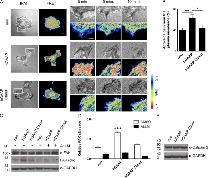 hGAAP stimulates calpain activity. (A) U2-OS cells were transfected with the CFP/YFP calpain FRET biosensor, plated on fibronectin, and imaged live over 20 min in both FRET and IRM channels. Typical examples show stills from videos. Right images show enlargements of boxed areas in left images. Bars, 5 µm. (B) Summary results from the images collected at t = 0 (means ± SEM, for > 10 cells) show the percentages of low-FRET pixels (ratio