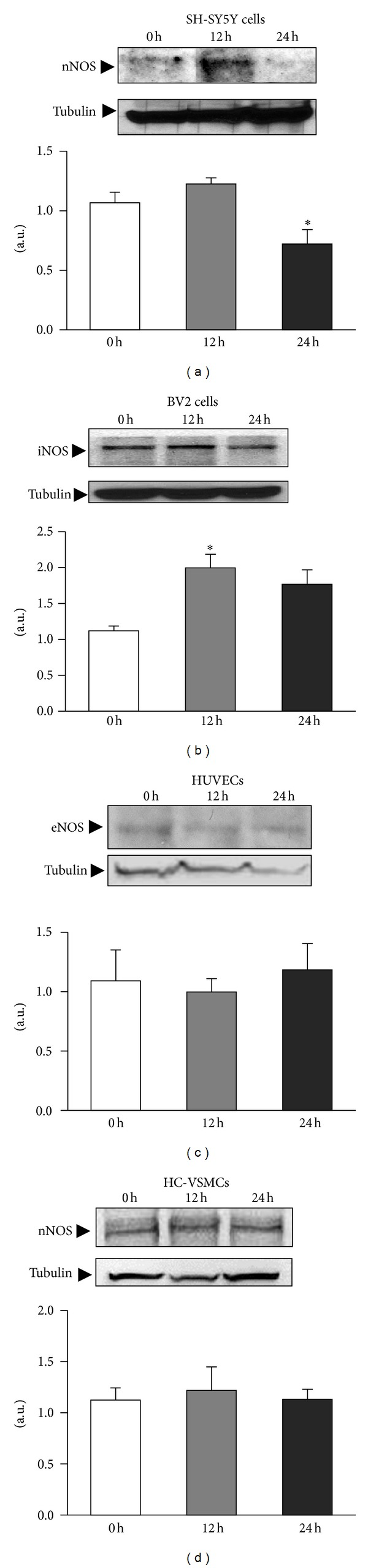 NO is produced in different cell types by the different NOS types. Cells were challenged with ischemia and iNOS, eNOS, and nNOS protein levels were studied immediately at time 0, 12, and 24 h after the ischemic challenge. Densitometric analysis of the bands quantified NOS expression relative to tubulin in all cell types. Data are mean ± SEM values of 6 experiments for microglia and 3 experiments for neurons, endothelial cells, and myocytes. * P