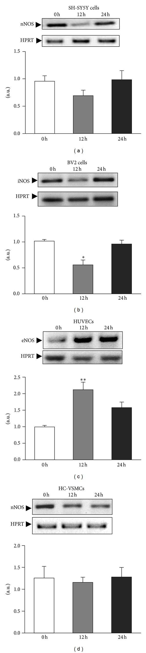 Differential expression of mRNA NOS types occurs in different cell types. Cells were challenged with ischemia, and iNOS , eNOS, and nNOS mRNA expression were studied immediately at time 0, 12 and 24 h after the ischemic challenge. The expression of mRNA was assessed by semiquantitative RT-PCR, and bands were quantified by HPRT densitometric analysis in all cell types. Data are mean ± SEM values of 3 experiments in all cell types. * P
