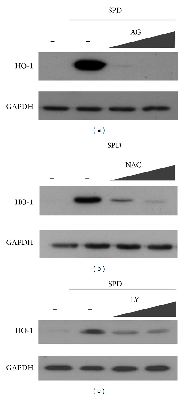 Blockage of SPD-induced HO-1 protein expression by aminoguanidine, NAC, or PI3K/Akt inhibitor. Cells were pre-treated with aminoguanidine (a), NAC (b), or LY 294002 (PI3K/Akt inhibitor) (c) 1 h prior to the treatment of SPD. After 24 h incubation, cell lysates were prepared, and 20 μ g samples of proteins were subjected to Western blotting, using anti-HO-1 antibody and anti-GAPDH.