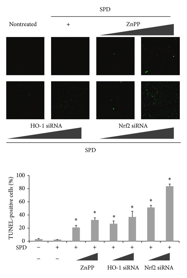 Effect of SPD-induced HO-1 inhibition on cell death. Cells were incubated in the absence or presence of ZnPP, siRNA of HO-1 or Nrf2 for 24 h before the indicated tests were performed. SPD-stimulated HUVECs were pretreated with or without ZnPP, HO-1 or Nrf2 siRNA. Protective effect of HO-1 induction on cell death was determined by in situ terminal nick-end labeling (TUNEL). Representative images illustrate fluorescent TUNEL (green) staining of cells cultured for 24 h before the indicated tests were performed. The percentage of TUNEL-positive cells per total cell count in each sample was calculated. At least 100 cells from three random fields were counted in each experiment. Data are the mean ± SD of triplicate experiments. * P