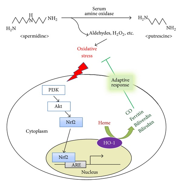 A scheme showing a proposed cytoprotective mechanism against SPD-induced oxidative stress by HO-1 induction. During the degradation of spermidine (SPD) to putrescine by serum amine oxidase, aldehydes, H 2 O 2 , and NH 3 are produced, which induce oxidative stress. It triggers Nrf2 translocation and ARE binding through PI3K/Akt signaling. Nrf2 activation upregulates HO-1 expression. HO-1 catalyzed heme to biliverdin and bilirubin, with the concurrent release of bioactive molecules, such as ferritin and CO. Heme metabolites exert adaptive response and protect cells against SPD-induced oxidative stress.