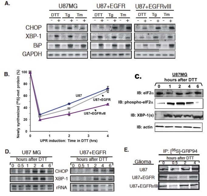 """Human glioma cells respond to persistent ER stress with UPR induction and rapid recovery of protein synthesis. Human glioma tissue culture models examined include: U87MG, U87+EGFR, and U87+EGFRvIII, from U87 parent lines stably transfected with a constitutively-active oncogenic EGFR and the extracellulary truncated EGFR variant III. ( A ) Northern blot analysis of human glioma tissue culture cells after a 4-hour treatment with the following pharmacological inducers of the UPR: 1mM dithiothreitol (DTT), 0.5 µM thapsigarin (Tg), or 2.5µg/ml tunicamycin(TM). Blots were probed for message levels of CHOP, XBP-1, GRP78/BiP, and GAPDH. ( B ) Levels of total newly-synthesized protein from 0–4 hours after a 1mM DTT treatment were assayed as TCA precipitable [ 35 S]-methionine-labeled protein. Protein synthesis rapidly declined and then rapidly recovered despite the presence of reducing agent in the culture. ( C ) The time course of eIF2α phosphorylation (""""phospho- eIF2α"""") was followed by immunoblotting during DTT treatment of U87MG cells, as was induction of spliced XBP-1 (""""XBP-1(s)"""". The actin loading control blot is a replicate blot. Following a 0-6 hour 1mM DTT treatment in U87 cell culture, ( D ) RNA was analyzed by Northern blot in a kinetic analysis of CHOP and XBP-1 mRNA. ( E ) Glioma cell cultures were labeled with [ 35 S]-methionine during a 0-4 hour 1mM DTT treatment. GRP94 was immunoprecipitated to detect newly-synthesized protein."""