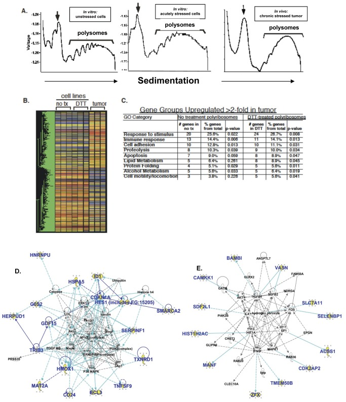"""cDNA microarray analysis of polyribosome-engaged transcripts in control and UPR-activated cells and xenograft glioma tumors. ( A ) Polyribosome traces from U87MG glioma models experiencing (or not) various stresses: unstressed cells, DTT-treated (acutely) stressed cells, and xenograft tumor-derived samples ("""" in vivo chronic stressed tumor""""). Each sample was analyzed in triplicate. Following homogenization, sample lysates were layered over a linear sucrose gradient (15-50%), separated at 150,000X g for 3 hours and processed as described ( Figure S2 ). Polyribosome-containing regions were pooled, total RNA extracted and submitted to the Duke Microarray Facility for analysis. ( B ) Heatmap of triplicate samples with one-way ANOVA analysis (P"""
