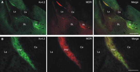 Colocalization of Kv4.2 and μ-opioid receptors (MOR) in the ITCs. a Double-labeling immunofluorescence for Kv4.2 (in green ) and MOR (in red ) reveals a high degree of coexistence in the amygdala, which is evident in the merged images. b At higher resolution, immunoreactivity for Kv4.2 (in green ) as well as for MOR (in red ) appears dense and diffuse in ITC clusters such as the Imp. The distribution profile of these proteins is highly similar ( merge ). BL basolateral amygdala, Ce central nucleus of amygdala, Imp medial paracapsular ITC cluster, IN ITC nucleus, La lateral amygdala. Scale bar 350 μm ( a ), 50 μm ( b )