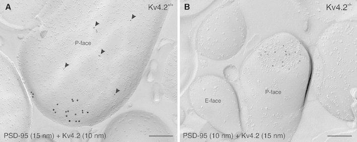 Segregation of Kv4.2 to extrasynaptic domains. a In a double-immunolabeling experiment for PSD-95, visualized with 15 nm gold particles, and Kv4.2, visualized with 10 nm gold particles ( arrowheads ), Kv4.2 subunits are observed at extrasynaptic sites of an ITC dendritic spine in a wild-type mouse (Kv4.2 +/+ ). Conversely, PSD-95 labeling can be seen within the postsynaptic membrane specialization of an excitatory synapse. b In a Kv4.2 −/− mouse, labeling for PSD-95 (10 nm gold) can clearly be detected within the postsynaptic membrane specialization of a dendritic spine. No immunoreactivity for Kv4.2 (15 nm gold) is observed in Kv4.2 −/− mouse tissue. Scale bar 200 nm ( a , b )