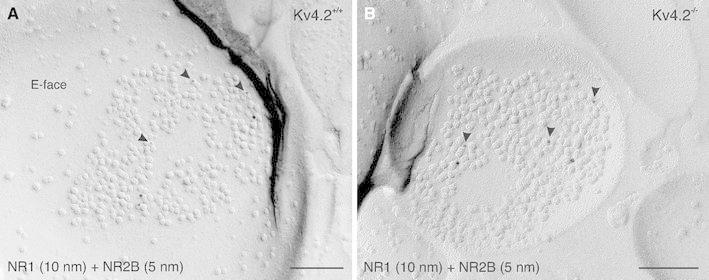 Modulatory action of Kv4.2 on the synaptic expression of NR2B. a In a double-immunolabeling experiment for NMDA-type glutamate receptor subunit 1 (NR1) and subunit 2B (NR2B), both NR1 (10 nm gold) and NR2B (5 nm gold; arrowheads ) are observed on the P-face of the postsynaptic membrane specialization of an excitatory synapse in an ITC neuron from a Kv4.2 +/+ mouse. b In an ITC neuron from a Kv4.2 −/− mouse, NR1 (10 nm gold) and NR2B immunolabeling (5 nm gold; arrowheads ) are observed in the postsynaptic membrane of an excitatory synapse at a density similar to that observed in Kv4.2 +/+ neurons. Yet, the frequency of such synapses, co-immunolabeled for both the NR1 and NR2B subunits, was increased in ITC neurons of Kv4.2 −/− mice. Scale bar 150 nm ( a , b )