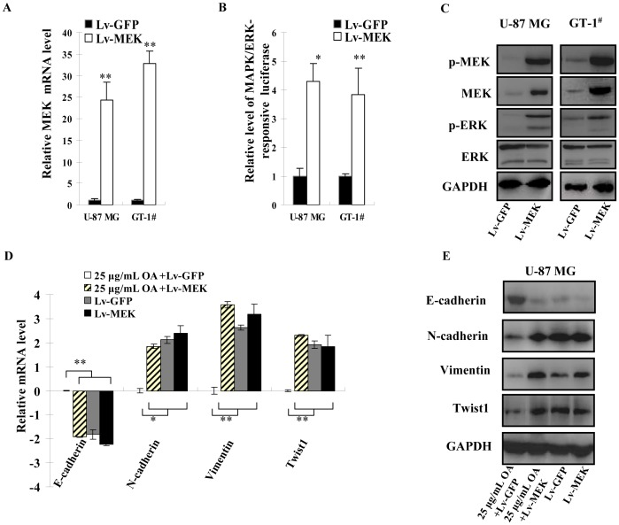 Lentivirus-based MAPK/ERK pathway activation abolished the effect of OA on EMT of glioma cells. ( A ) 10 MOI of Lv-MEK or Lv-GFP was added to the cultures of U-87 MG and GT-1 # as well as 25 µg/mL (50 µM) of OA. 48 h later, total RNA was extracted from the cells and expression level of MEK mRNA was determined by qPCR. The experiments were performed for three times. GAPDH was selected as endogenous control. Their relative expression levels in OA-treated cells to untreated ones were shown as mean ± SD. ( B ) Under the same conditions, MAPK/ERK-responsive luciferase plasmids were transfected into U-87 MG and GT-1 # cells and Firefly luciferase activity was normalized by that of Renilla luciferase. The luciferase activity in untreated cells was selected as standards. These experiments were repeated for three times and the values were shown as mean ± SD. ( C ) Immunoblotting assay was perfermed to detect MEK and ERK proteins as well as their phosphorylated forms were also determined in 10 MOI of Lv-MEK or Lv-GFP-infected U-87 MG and GT-1 # cells under 25 µg/mL (50 µM) of OA treatment and GAPDH was selected as endogenous control. ( D ) 10 MOI of Lv-MEK or Lv-GFP was used to infect U-87 MG cells with or without 25 µg/mL (50 µM) of OA. 48 h later, transcripts of E-cadherin, N-cadherin, Vimentin and Twist1 were quantified. The experiments were performed for three times. GAPDH was selected as endogenous control. Their relative expression levels in the tested cells to ones treated by 25 µg/mL (50 µM) of OA and 10 MOI of Lv-GFP were shown as log 2 (mean ± SD). ( E ) E-cadherin, N-cadherin, Vimentin and Twist1 proteins were also determined in the cells treated simultaneously by lentivirus and 25 µg/mL (50 µM) of OA and GAPDH was selected as endogenous control.