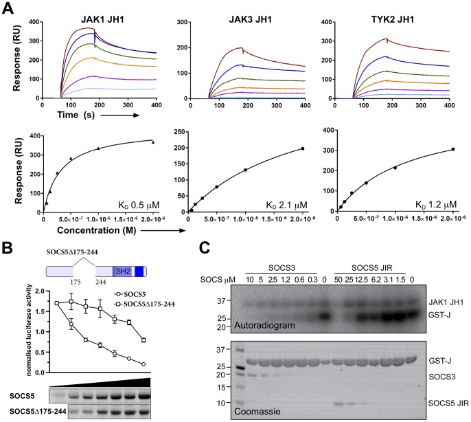 An N-terminal fragment corresponding to residues 175–244 of SOCS5 can directly bind JAK1. (A) SPR analysis of SOCS5 175–244 fragment binding to the JAK JH1 domain. Serially diluted JAK JH1 domains (62.5 nM–2 μM) were flowed over immobilised SOCS5 175–244 protein. Upper panels represent sensorgrams showing the kinetics of binding. Lower panels show steady-state analysis. (B) <t>293T</t> cells were transfected with the Stat6 reporter and increasing amounts of cDNA expressing Flag-tagged SOCS5 (3.13–100 ng) or SOCS5 lacking the conserved N-terminal fragment (9.5–300 ng; Δ175–244) and stimulated overnight with 10 ng/mL rhIL-4. Cells were lysed and induced luciferase activity measured and normalised according to Renilla activity. Data are expressed as arbitrary units and represent the mean of triplicates ± SD. Cell lysates were analyzed by Western blotting for Flag-tagged proteins (SOCS5 upper; Δ175–244 lower panel); images were generated from the same gel and exposure. (C) Recombinant SOCS5 JIR or SOCS3 was incubated with 20 nM JAK1 and GST-JAK2 activation peptide (substrate; GST-J) for 15 min in the presence of 2.5 mM Mg/ 32 P-γ-ATP at 37°C. Incorporation of 32 P was visualised by autoradiography (top panel) and protein input by SDS-PAGE and Coomassie staining (lower panel).