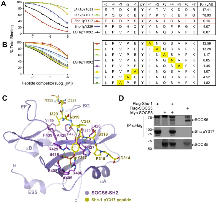 SOCS5-SH2 domain binding analysis and identification of Shc-1 pY317 as a high affinity-potential binding target. SPR analysis of phosphopeptide binding to the SOCS5-SH2 domain. A constant amount of recombinant SOCS5 was mixed with serially diluted phosphopeptides (0.4–10 µM) and flowed over immobilised Shc-1 pY317 peptide. The response units are expressed as a percentage of maximal binding in the absence of competitor and are plotted against the concentration of competitor peptide. Steady-state analysis at saturation of binding was used to derive the K D values for the respective phosphopeptides. Binding analysis of ( A ) JAK, Shc-1, or wild-type and ( B ) mutated EGF-R phosphopeptides. Phosphopeptide sequences and the respective K D values are shown in the right-hand side table. Yellow boxes highlight residues replaced by an alanine residue. ( C ) Structural model of the SOCS5-SH2-Shc-1 peptide complex. A homology model for the SOCS5-SH2 domain was built using the SOCS4 crystal structure as a template (PDB code 2IZV). The Shc-1 pY317 peptide was modelled from the SOCS3-gp130 crystal structure (PDB code 2HMH). Side chains were optimized using ICM-PRO (Molsoft). The backbone of the flexible EF and BG loops was fixed in the apo-SOCS4 conformation, but is likely to adjust on peptide binding to maximize interactions. Predicted hydrogen bonds are shown as dashed lines. ( D ) SOCS5 interacts with full-length Shc-1 protein. 293T cells were transfected with cDNA encoding Myc-tagged SOCS5 (+) in the presence (+) or absence of cDNA encoding Flag-tagged Shc-1 or alternatively, with cDNA encoding Flag-tagged SOCS5 alone. Cells were treated with 10 μM MG132 for 3.5 h prior to treatment with sodium pervanadate solution for 30 min. Cells were then lysed and anti-Flag immunoprecipitates analyzed by Western blot with anti-SOCS5 antibodies (αSOCS5). The blots were stripped and reprobed with a phospho-specific antibody for Shc-1-Y317 (middle panel). Cell lysates were analyzed by Western blot with anti-SOCS5 (lower panel).