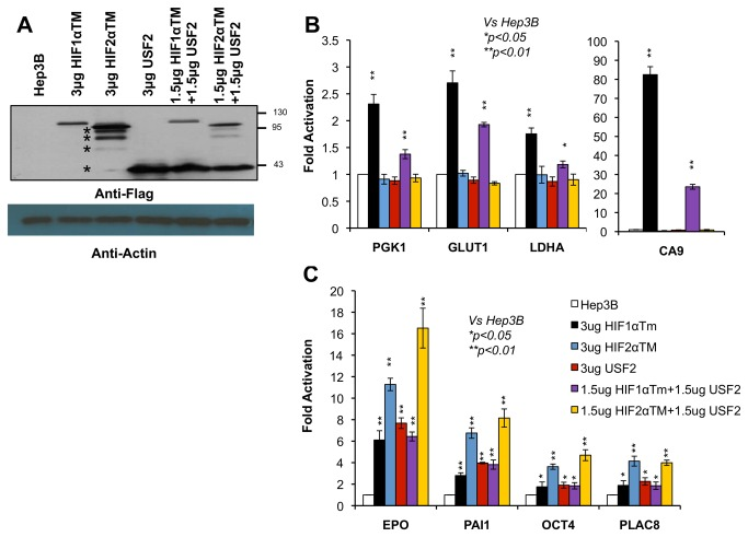 USF2 functions alone or with HIF2α to activate endogenous HIF2 target genes in normoxic Hep3B cells. A ) Western blot analysis of Flag-tagged USF2, HIF1αTM and HIF2αTM to monitor the expression of these plasmids in transfected Hep3B cells. The starts * indicate several HIF2α protein bands expressed from the vector. B ) mRNA levels of HIF1 target genes, PGK1 , GLUT1 , LDHA and CA9 , in normoxic Hep3B cells in response to transient transfection of the indicated plasmids. C ) mRNA levels of HIF2 target genes, EPO , PAI1 , OCT4 and PLAC8 , in normoxic Hep3B cells in response to transient transfection of the indicated plasmids.