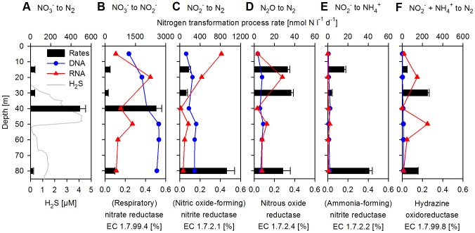 Vertical distribution of nitrogen transformation process rates and abundances of sequences encoding for involved enzymes. Shown in percent of all protein-coding DNA and RNA sequences, respectively. (A) NO 3 − reduction to N 2 (denitrification). (B) NO 3 − reduction to NO 2 − , respiratory nitrate reductase (EC 1.7.99.4). (C) NO 2 − reduction to N 2 , (NO forming) nitrite reductase (EC 1.7.2.1). (D) N 2 O reduction to N 2 , nitrous-oxide reductase (EC 1.7.2.4). (E) NO 2 − reduction to NH 4 + (DNRA), (NH 4 + forming) nitrite reductase (EC 1.7.2.2). (F) NO 2 − +NH 4 + to N 2 (anammox, based on the sole addition of NO 2 − ), hydrazine oxidoreductase (EC 1.7.99.8). Please note that at 40 m only NO 3 − reduction to N 2 (A) and NO 3 − reduction to NO 2 − (B) were measured.
