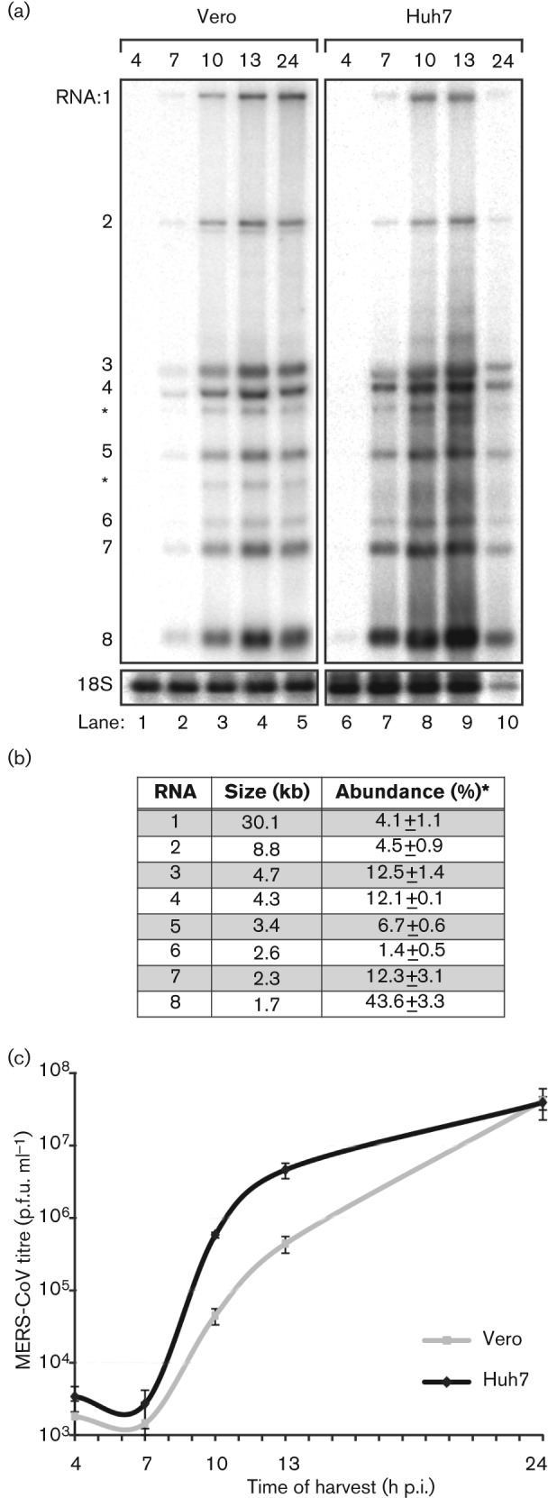 Kinetics of MERS-CoV replication in Vero and Huh7 cells. Vero and Huh7 cells were infected with MERS-CoV (m.o.i. of 5). (a) Hybridization analysis of viral mRNAs isolated from MERS-CoV-infected cells using an oligonucleotide recognizing the viral genome and all sg mRNAs. Additional minor bands of ~3 and ~4 kb were observed (*) and may represent additional viral mRNA species that remain to be studied in more detail. However, the corresponding positions in the ORF4a/b and ORF5 coding regions do not contain a canonical core TRS sequence (AACGAA; van Boheemen et al. , 2012 ) that might provide a direct explanation for their synthesis. (b) Analysis of the relative molarities of viral genome and each of the sg mRNAs (% of total viral mRNA). mRNA sizes were calculated on the basis of the TRS positions in the viral genome sequence ( van Boheemen et al. , 2012 ). Phosphorimager quantification was performed on the gel lanes with the RNA samples isolated from Vero cells at 10, 13 and 24 h p.i. ( Fig. 1a ; lanes 3–5, respectively; mean± sd ). (c) Release of infectious MERS-CoV progeny into the medium of infected Vero or Huh7 cells at the indicated time points, as determined by plaque assay (mean± sd ; n = 4).