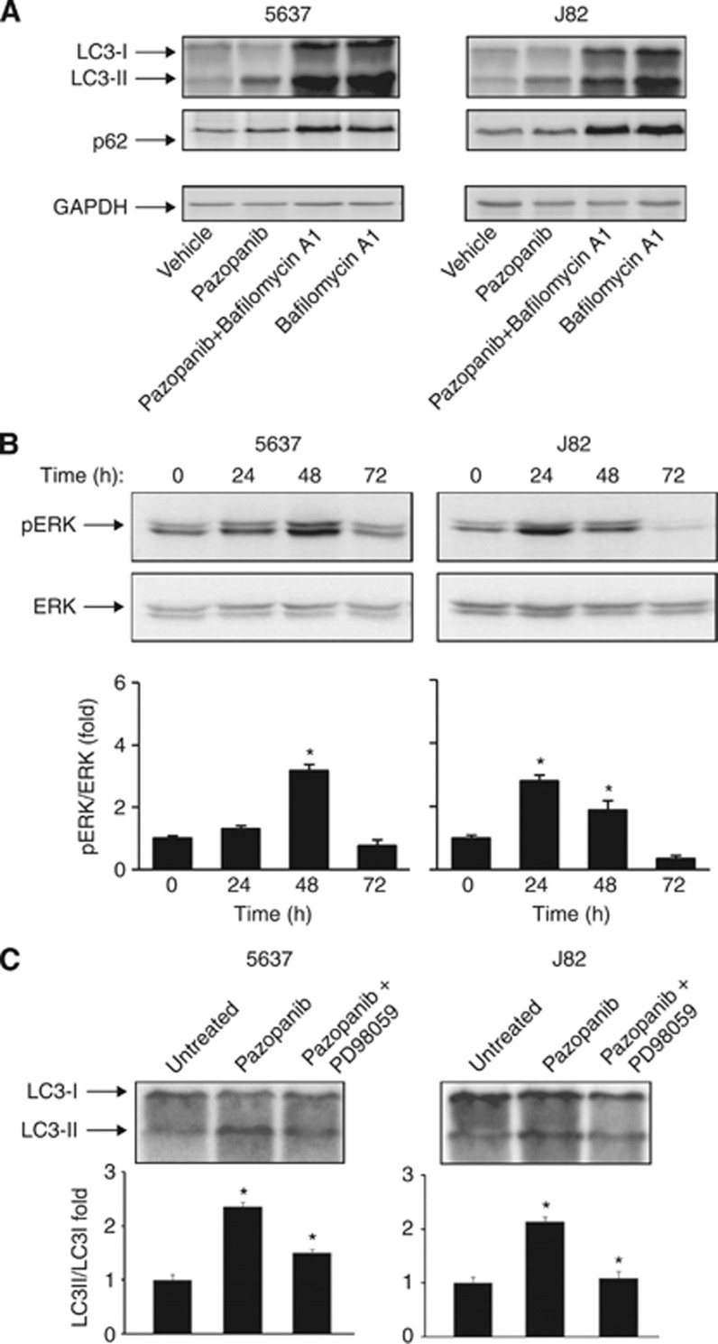 Pazopanib induces autophagic flux and ERK1/2 phosphorylation in BC cells. ( A ) Lysates from 5637 and J82 cells treated with 20 μ M pazopanib and 50 n M bafilomycin A1, alone or in combination, for 48 h were separated on 14% or 10% SDS–PAGE and probed with <t>anti-LC3</t> or anti-p62 and anti-GAPDH Abs, respectively. ( B ) Lysates from 5637 and J82 cells untreated or treated with 20 μ M pazopanib at different times were separated on 12% SDS–PAGE and probed with anti-pERK or <t>anti-ERK</t> Abs. Densitometric analysis, expressed as the mean±s.d., was performed by comparing treated with untreated cells, * P