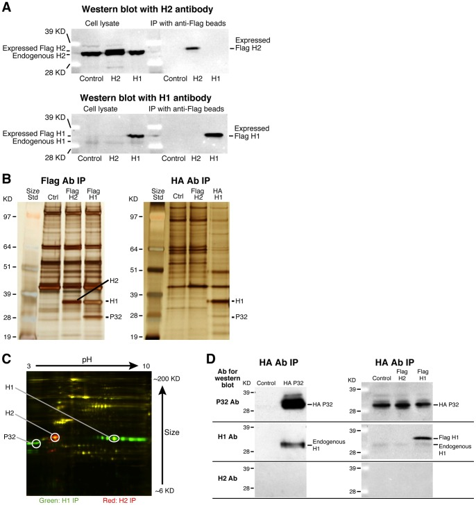 Human RNase H1 is associated with P32. ( A ) Western blot analysis of cell lysates and immunoprecipitated samples show Flag-tagged RNase H1 and H2 expression from cells stably transformed with RNase H1 (H1) or H2 (H2) or wild type (control) HEK cell lines. ( B ) Co-selection of RNase H1 binding proteins by immunoprecipitation. Extracts from cells expressing the Flag-H1, Flag-H2, or HA-H1 cell lines were immunoprecipitated with either anti-Flag or anti-HA antibody. Co-precipitated proteins were resolved by SDS-PAGE, and visualized by silver staining. Protein bands that were different from the co-precipitated proteins from control cells were subjected to mass spectrometry. The protein bands corresponding to the tagged RNase H1, H2 and the co-precipitated P32 proteins are indicated. The size marker was SeeBlue Plus2 Pre-Stained Standard (Invitrogen). ( C ) 2D gel electrophoresis of proteins co-precipitated with Flag-H1 or Flag-H2. About 5 mg cell lysates were prepared for immunoprecipitation with anti-flag beads from cell lines which stably express Flag-H1 or Flag-H2. The immunoprecipitates were washed four times with RIPA buffer and directly sent to Applied Biomics Inc. (San Francisco, CA) for 2D gel electrophoresis coupled with MS analysis. In brief, the co-precipitated proteins from Flag-H1 or Flag-H2 cells were labeled by fluorescent DIGE CyDyers, respectively, followed by 2D gel electrophoresis. The protein image was scanned with a fluorescence detector. The figure illustrates the proteins differentially associated with RNase H1 (green) or H2 (red). The P32 protein was confirmed with mass spectrum from the extracted gel sample. Circled spots were identified as RNase H1, H2 or P32 by mass spectrometric analysis. ( D ) Both endogenous and expressed RNase H1 are co-precipitated with the expressed P32. Left panel: western blots with P32, RNase H1, or H2 antibodies for proteins co-precipitated using anti-HA antibody from extracts of control HeLa cells or cells transfected with HA-P32 expression plasmid. Right panel: western blots for proteins co-selected using anti-HA antibody from extracts of Flag-H1, Flag-H2 stable cell lines and control cells, all of which were transfected with HA-P32 expression plasmid. ( E ) Confirmation of the specific interaction between RNase H1 and P32. RNase H cleavage activity indicates that the P32 co-immunoprecipitated material contains only RNase H1 enzyme activity. Upper panel: Cleavage patterns of human RNase H1 and H2 from IP-coupled enzyme activity assays. Immunoprecipitations were performed with either anti-flag, anti-RNase H1 or anti-H2 antibodies from extracts of Flag-H1, Flag-H2 expressing cells or control cells. The co-precipitated samples were incubated for the indicated times with a  32 P-labeled RNA/DNA-methoxyethyl (MOE) gapmer duplex and the cleavage products were separated using denaturing gel electrophoresis. The preferred cleavage sites of RNase H1 and H2 are indicated with * or #, respectively. The positions of the preferred cleavage sites in the heteroduplex are shown in the middle panel with the sequences of the RNA substrate (upper strand) and the oligonucleotide (lower strand). The bold nucleotides in the oligonucleotide strand indicate the position of the MOE substitutions. Lower panel: only the RNase H1 enzyme activity was detected in the co-precipitated material from lysates containing tagged P32. Immunoprecipitations were performed with anti-HA antibody from extracts of Flag-H1 or Flag-H2 stable cell lines or control HEK cells, which were all transfected or not transfected with HA-P32 expression plasmid. The precipitated samples were analyzed for cleavage patterns as described above. The position of the cleavage bands relative to the sequence of the cleavage products is shown on the left. A partial alkaline digestion of the same labeled RNA was used as a sequence ladder. The cleavage pattern of purified human RNase H1 is shown at the far right of the lower panel.