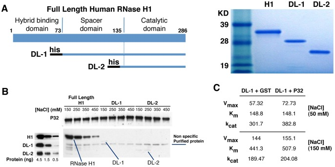 P32 appears to interact with the N-terminal duplex binding domain of RNase H1. ( A ) Expression and purification of RNase H1 deletion mutants. Left panel: Schematic depiction of the different human RNase H1 deletion mutants. DL1 deletes the hybrid binding domain (amino acid positions 1–73); DL2 deletes both the hybrid binding domain and the spacer domain (amino acid 1–129). The black bars at the N-terminus of each mutant represent a His tag. Right panel: Coomassie blue staining of the purified RNase H1 deletion mutants. The sizes of the standard markers are given. ( B ) Interaction of full length RNase H1 and its deletion mutants with P32. The full length or truncated RNase H1 proteins were incubated with GST-P32 bound to GST-beads under different NaCl concentrations ranging from 150–450 mM in both the binding and washing solutions. The P32 and RNase H1 or deletion mutants were eluted and analyzed by Western blot, using P32 or RNase H1 antibodies, respectively (right panel). Western blot to RNase H1 and deletion mutants DL1 and DL2 demonstrates that the mutant proteins are recognized by the RNase H1 antibody (left panel). ( C ) Michaelis-Menten Kinetics of DL-1 mutant in the presence or absence of P32. K m , V max , and k cat  for DL-1 plus GST or GST-P32 (DL-1:P32 = 1:5 in molecular ratio) were determined in 50 and 150 mM NaCl concentration with the Apo B RNA/DNA duplex as described in the Material and Methods.