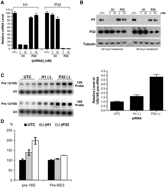 Depletion of RNase H1 or P32 resulted in accumulation of mitochondrial pre-12S/16S rRNA. HeLa cells were treated with 2 nM or 20 nM of RNase H1-siRNA or P32 –siRNA for 24 or 48 hours. ( A ) The mRNA levels of RNase H1 and P32 were determined by qRT-PCR 24 hrs after siRNA treatment. ( B ) Protein levels of RNase H1 and P32 were analyzed by western analysis 24 hours post siRNA treatment. ( C ) Reduction of RNase H1 or P32 significantly increased the level of mitochondrial pre-rRNA. HeLa cells were treated with either RNase H1-siRNA (2 nM) or P32-siRNA (2 nM) for 24 hours. Total RNA was prepared and subjected to Northern analysis with  32 P labeled probes specific to 12S or 16S rRNAs. U3 snoRNA was detected and served as a control. The relative levels of pre-rRNA were measured from the results obtained with 12 S probe, normalized to U3, and plotted in the right panel. The error bars indicate standard error of the three replicates. (D) RT-PCR assay for the levels of pre-16 S and pre-ND3 RNAs. Total RNA prepared from HeLa cells treated for 24 hrs with corresponding siRNAs was analyzed by qRT-PCR, using primer probe sets specific to the tRNA Val -16 S rRNA junction (pre-16 S) or to the tRNA Gly -ND3 junction (pre-ND3). The error bars represent standard deviation of three replicates.
