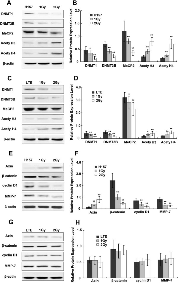 The effect of X-ray irradiation on DNMTs, MeCP2, acetylated histones and factors of the Wnt signaling pathway. Western blot analysis shows the effects of X-ray irradiation on the expression of DNMTs, MeCP2, acetylated histones, Axin, β-catenin, Cyclin D1 and MMP-7 at 24h after X-ray treatment. DNMT1, DNMT3B and MeCP2 are significantly down-regulated in H157 cells, and acetylated histone H3 and H4 are up-regulated in H157 cells (A , B) is the histogram of A. DNMT 1 and 3B are also down-regulated significantly in LTE cells. Slightly decreased MeCP2 expression and up-regulation of acetylated H3, H4 are noted in LTE cells (C and D) , with the degree of change less significant than in H157 cells. Increased Axin expression and decreased β-catenin, Cyclin D1 and MMP-7 expression are noted in the H157 cell line after X-ray irradiation (E and F) , but no significant change in these factors are detected in LTE cells (G and H) . Note a dose dependent pattern of the changes in both cell lines, with more prominent changes in the H157 than in the LTE cell line. * P