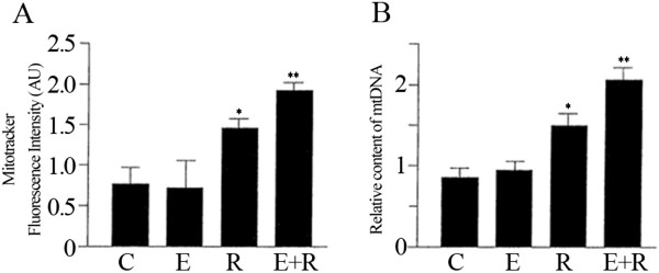 The combined treatment of resveratrol and equol strongly increased the number of mitochondria in HUVEC cells. (A) Mitotracker fluorescent intensities were analysed to assess the mitochondrial biogenesis. (B) Relative mitochondrial DNA (mtDNA) content was estimated by qRT-PCR. Representative data of at least 3 experiments each performed in triplicate. (*= P