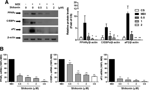 Effect of shikonin on adipogenic transcription factor protein levels and gene expression in 3T3-L1 adipocytes. (A) Western blot analysis was performed with antibodies against PPARγ, C/EBPα, aP2, and β-actin. (B) The expression of PPARγ, C/EBPα, and aP2mRNAs from 3T3-L1 adipocytes was measured by qRT-PCR.
