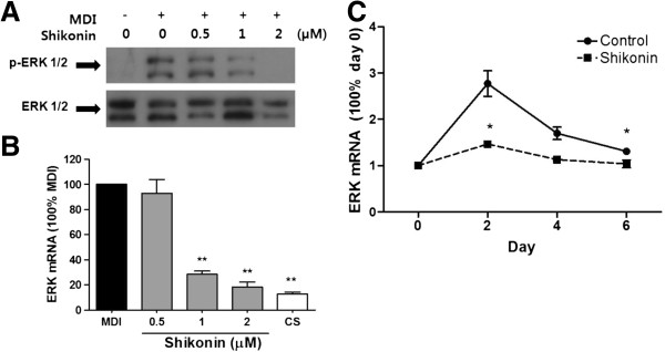 Inhibitory effect of shikonin on ERK 1/2 phosphorylation in 3T3-L1 adipocytes. (A) Protein level and (B) mRNA expression were determined with ERK 1/2. (C) Time-course of ERK expression as measured by qRT-PCR.